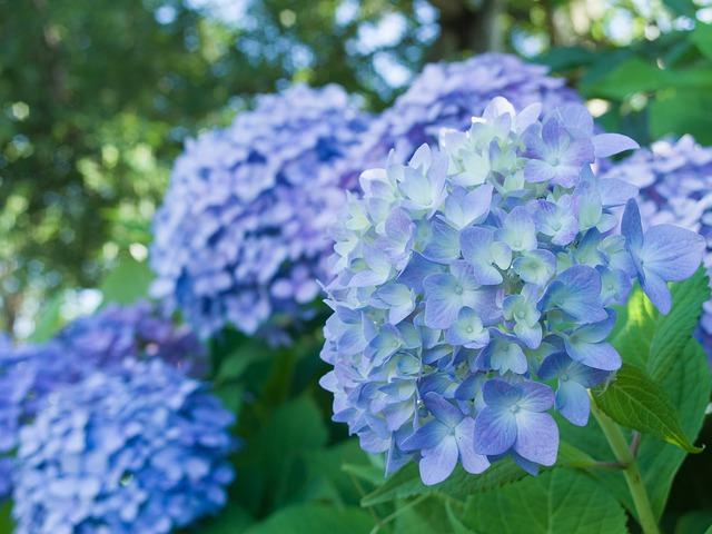 Svetlomodré kvety hortenzie.jpg