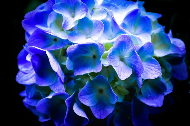 Hortenzia s modrými kvetmi.jpg
